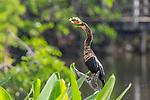 Anhinga flippin a fish into the air to eat it, Wakodahatchee Wetlands