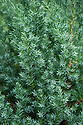 Juniperus chinensis 'Pyramidalis'<br /> (Chinese juniper 'Pyramidalis'), a slow-growing, dwarf columnar evergreen shrub, with mostly prickly, grey-green juvenile needles.