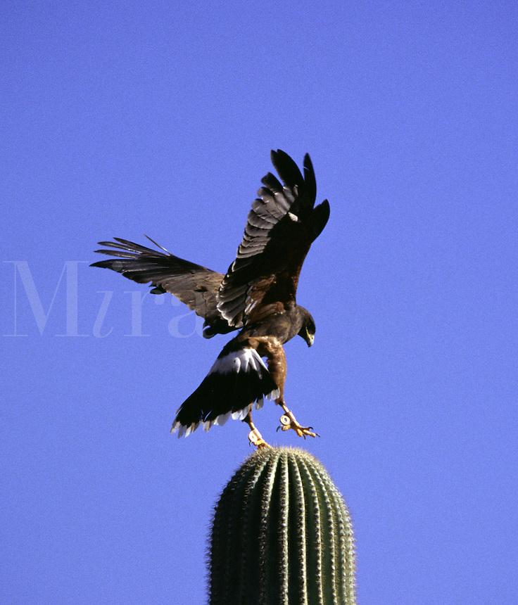 Harris' Hawk at the Arizona-Sonora Desert Museum
