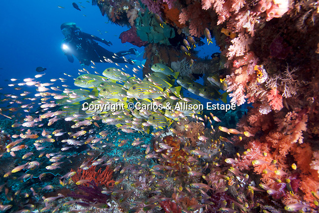 Coral reef, Plectorhinchus polytaenia, Ribbon sweetlips, Raja Ampat, Indonesia