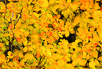 Montana deciduous shrub showing beautiful yellow foliage.