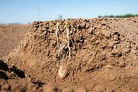 Potato plant emerging through the ridge - Lincolnshire, May