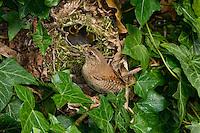 Zaunkönig, Zaun-König, Altvogel füttert Küken in Nest, Kugelnest, in Efeu versteckt, Troglodytes troglodytes, Wren, Troglodyte mignon