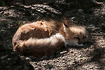 Red fox back lit by setting sun taking a nap.