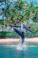 bottlenose dolphins, Tursiops truncatus (c), leaping, Dolphin Quest, Hawaii (not to be used to promote anti-captivity campaigns)