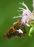 Silver-spotted Skipper collecting nectar from Monarda
