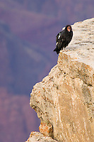 California Condor (Gymnogyps californianus) perched on rocky cliff.  Western U.S.