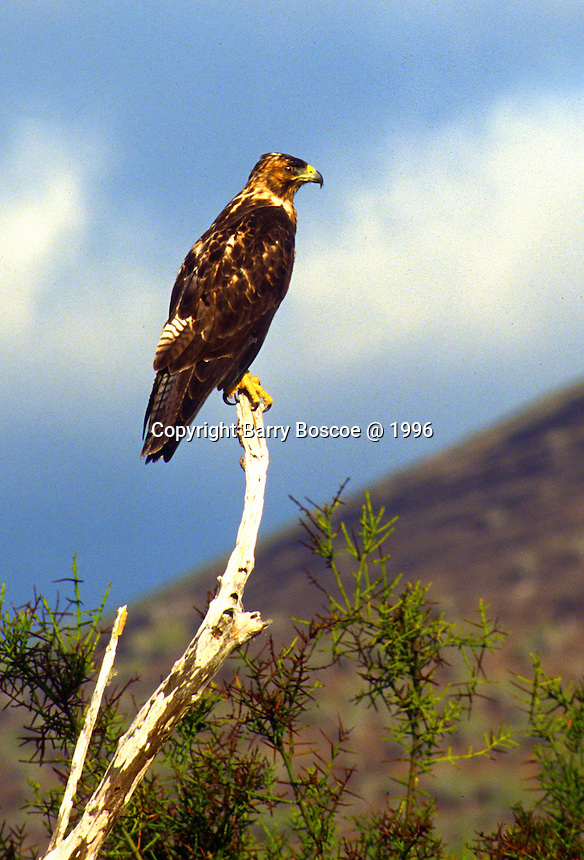 Galapagos eagle perched on a dead tree in the Galapogos Islands in Equador.