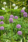 Detail of globes of purple and white allium flowers in this mixed border bathed in spring sunshine at the Dunn Gardens, a former private estate near Seattle now run as a woodland botanical garden and available for touring by appointment and fee.