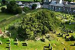 ANCIENT YEW TREES UK