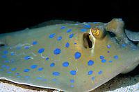 Bluespotted Stingray (Taeniura lymma) on sandy ocean floor, Red Sea, Egypt.