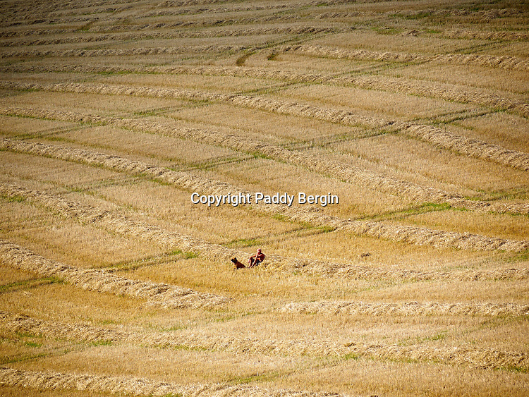 Haymaking for any farm is an important time and is dependant on the weather. When its good enough and the grass is cut it is left to dry and then collected as in this photograph. On some small farms local people still come and help to ensure all the hay is brought in and stored in barns. Here a man and his dog take a rest in the windrows and enjoy the sunshine in the field, Lancing, South Downs,  West Sussex. Stock Photo by Paddy Bergin