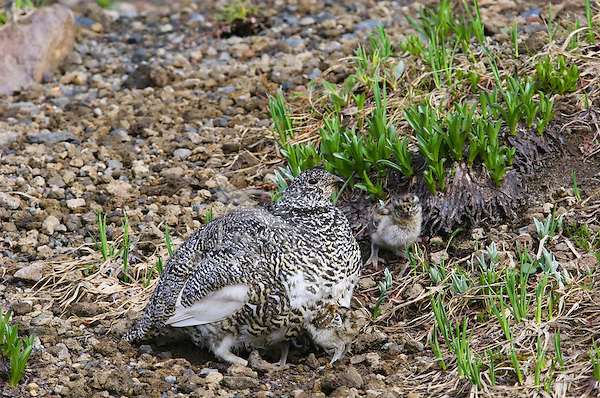 White-tailed Ptarmigans (Lagopus leucurus)--hen brooding (warming) young chicks on cool morning in alpine meadow.  Mount Rainier National Park, WA.  Summer.
