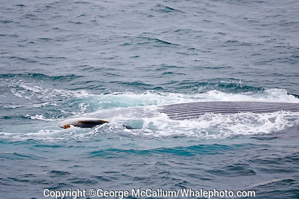Blue whale Balaenoptera musculus feeding showing extended throat pleats Spitzbergen Barents sea North east Atlantic