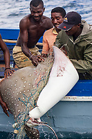 fishermen boarding white-ocellated eagle ray, Aetobatus ocellatus, caught with illegal gill netting, Saint Marie Island, Madagascar, Indian Ocean