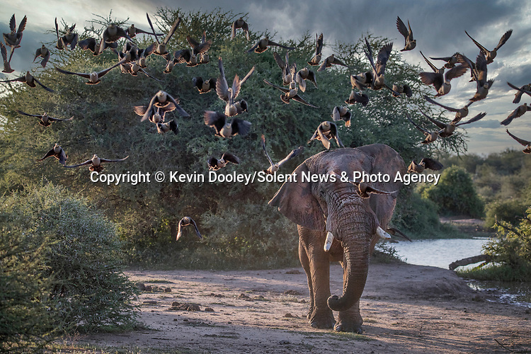 SEQUENCE:  6 of 7: The elephant charges at the birds sending them into the air.<br /> <br /> An elephant charges towards a flock of birds causing a scene of mayhem as they scatter.  The African elephant, with its large ears outstretched, seemed to be enjoying the game as the Sandgrouse took flight.<br /> <br /> Wildlife photographer Kevin Dooley pictured the animated elephant at the Madikwe Game Reserve, South Africa.  SEE OUR COPY FOR DETAILS.<br /> <br /> Please byline: Kevin Dooley/Solent News<br /> <br /> ©  Kevin Dooley/Solent News & Photo Agency<br /> UK +44 (0) 2380 458800