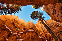 Low-angle view of the slot canyon Wall Street on the Navajo Loop Trail in Bryce Canyon National Park, with large Douglas Firs (Pseudotsuga menziesii) reaching for the sky. January in Bryce Canyon National Park, Utah, USA