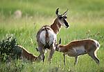 Pronghorn antelope nursing two kids, Montana, USA