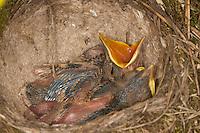 Singdrossel, Sing-Drossel, Sing - Drossel, bettlndes, sperrendes Küken im Nest, dessen Boden typischerweise mit Lehm ausgekleistert ist, Turdus philomelos, Song Thrush, Grive musicienne