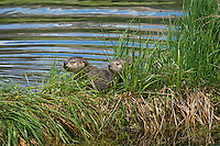 Northern River Otter (Lontra canadensis) pups explore grass covered log along the edge of a lake.  Western U.S., summer..