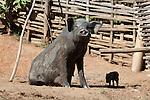 Myanmar, (Burma), Shan State, Kengtung: Pig and Piglet from hill village | Myanmar (Birma), Shan Staat, Kengtung: Sau mit Jungtier bei dem Akha Bergvolk im Shan-Hochland