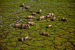 Aerial of African bush elephants (Loxodonta africana), Amboseli National Park, Kenya <br /> <br /> Nikon, Nikkor lens, Fujichrome Velvia film