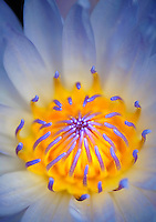 Tropical water lily. Species of Nymphaea. Huges Water Gardens. Oregon