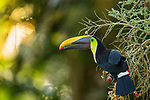 Black-mandibled Toucan (Ramphastos swainsonii) feeding on palm fruit, Osa Peninsula, Costa Rica