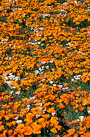 A field of Mexican Gold Poppy (Eschscholtzia mexicana - Papaveraceae)wildflowers blooming in spring. Arizona.