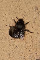 Gemeine Pelzbiene, Pelz-Biene, Frühlings-Pelzbiene, Frühlingspelzbiene, Weibchen, Anthophora acervorum, Anthophora plumipes, kommt aus dem Loch einer Wildbienen-Nisthilfe, in dem es ihre Eier ablegt und Pollen einträgt, common Central European flower bee