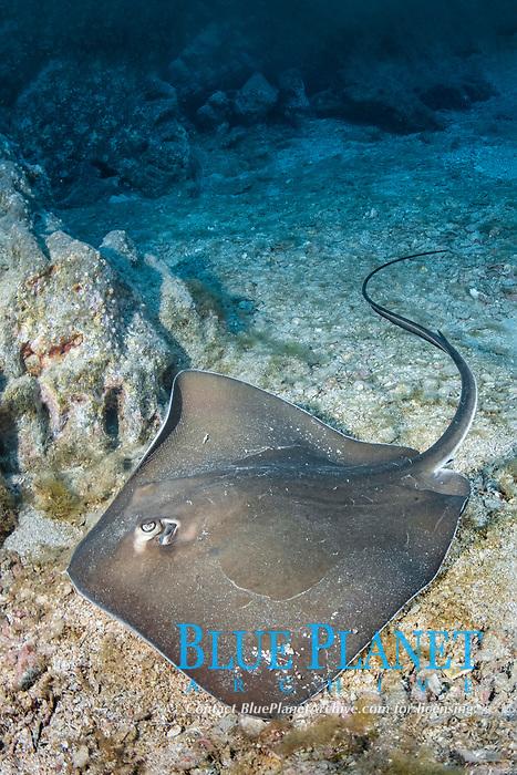 longtail stingray, Dasyatis longa, Socorro Island, Revillagigedo Islands, Mexico, Pacific Ocean