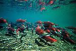 A group of spawning Sock-eye Salmon swim near the rock bottom of Lake Nerka, Wood-Tikchik State Park, Alaska.