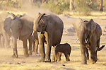 Elephants take a dust bath near a watering hole in Hwange National Park, Zimbabwe.