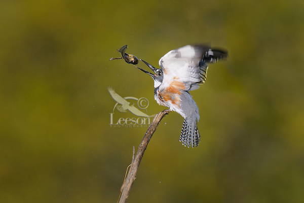 Female Belted Kingfisher (Megaceryle alcyon) flipping bullfrog tadpole as it prepares to swallow it, Western U.S.