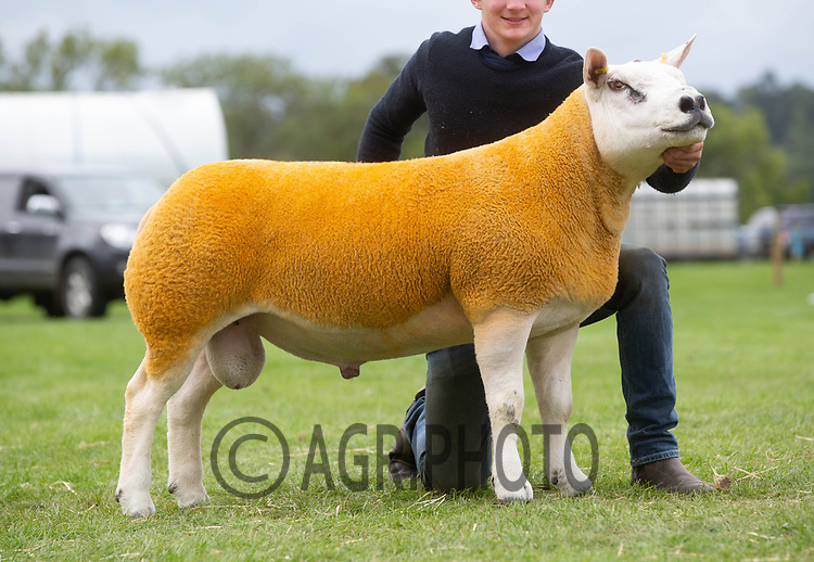 Kelso Ram Sale 2018<br /> Lot 3540       texel  6200gns K Wight Midlock<br /> ©Tim Scrivener Photographer 07850 303986<br />      ....Covering Agriculture In The UK....