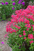 Phlox x arendsii 'Miss Mary' (Spring Pearl Series) (TN84) deep pink aka Phlox paniculata 'Red Riding Hood'