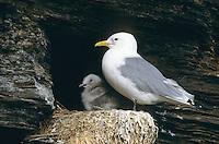 Dreizehenmöwe, Altvogel mit Küken, Jungvogel auf dem Nest in der Steilwand eines Vogelfelsen, Dreizehen-Möwe, Möwe, Dreizehenmöve, Rissa tridactyla, kittiwake