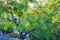 Prosopis glandulosa 'Maverick' Honey Mesquite tree; South Coast Research and Extension Center; University of California ANR