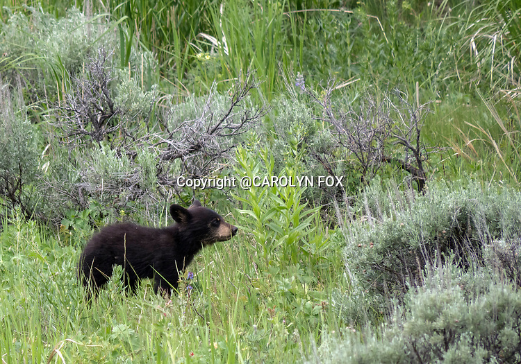 Black bears are a common site in Yellowstone. Black bears are commonly found in Yellowstone.