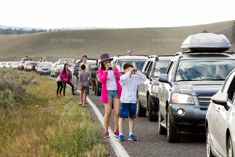People look at a large herd of bison with calves as the animals cross the road in the Lamar Valley, Yellowstone National Park, Wyoming, USA. The crossing caused traffic to back up on the road for about a half hour. Bison number about 5,500 in Yellowstone as of August 2016, according to the National Park Service. They are descended from a small group of 23 individuals that survived mass killings of bison in the 1800s.