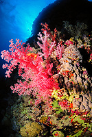 Scenic view on a coral reef, soft coral colony, latin name Dendronephthya sp., Saint John's reef, south Red Sea, Egypt