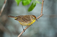 Palm Warbler (Dendroica palmarum) male rests in mixed forest along Lake Erie shoreline near Canada and USA border during annual spring migration northward to summer breeding grounds.  An estimated 98% of all Palm Warblers nest in Canada's boreal forest.