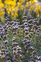 Salvia dorrii Desert Sage, Purple Sage, Grey Ball Sage, Tobacco Sage flowering in New Mexico garden
