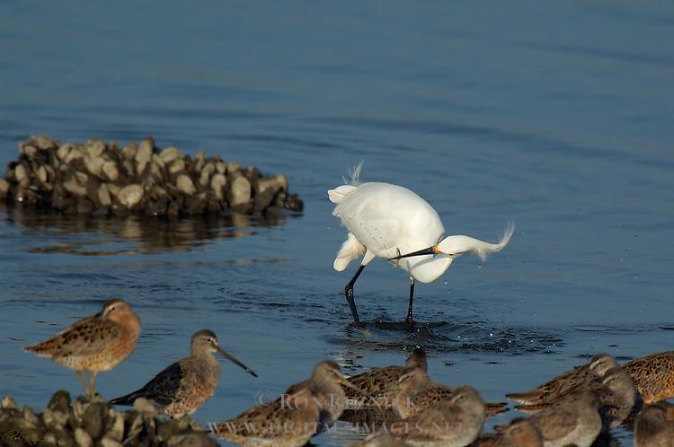 Snowy Egret Hunting Bolsa Chica Wildlife Refuge Southern California