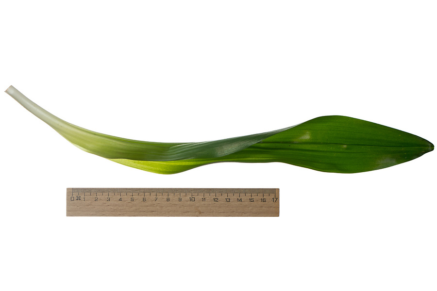 Herbst-Zeitlose, Herbstzeitlose, Colchicum autumnale, Colchicum autumnalis, Naked Ladies, autumn crocus, meadow saffron, naked lady, Le colchique d'automne. Blatt, Blätter, leaf, leaves