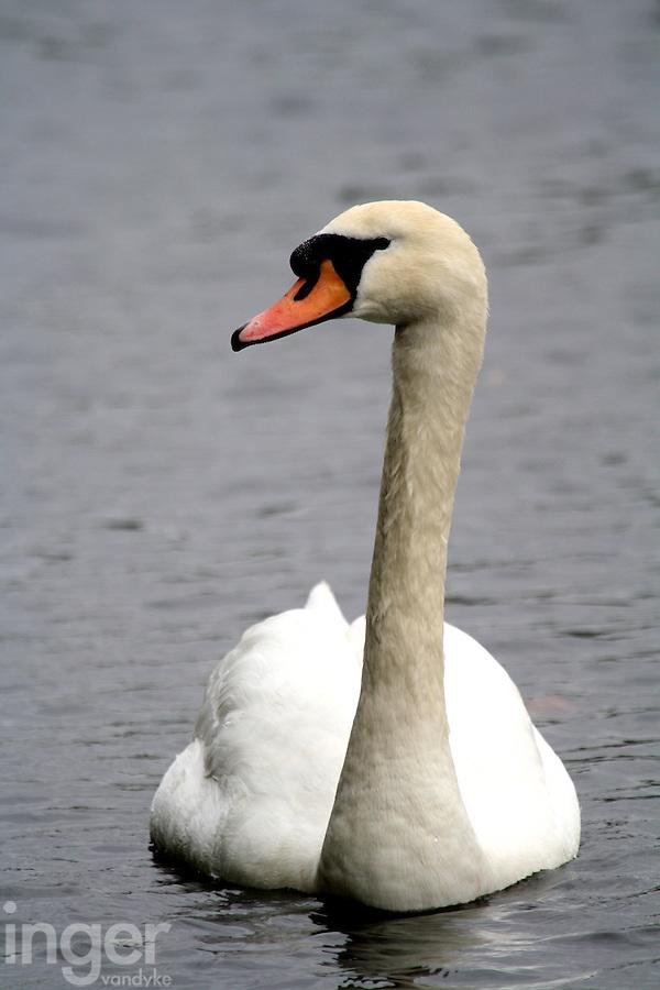 Mute Swan in St James, London, United Kingdom