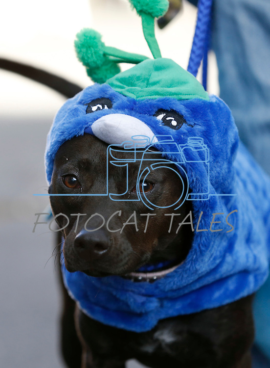 Lady, 1, waits for the start of the Scallywaggers Pirate Pup Parade at the Brewery Arts Center, in Carson City, Nev., on Wednesday, Sept. 18, 2019.<br />