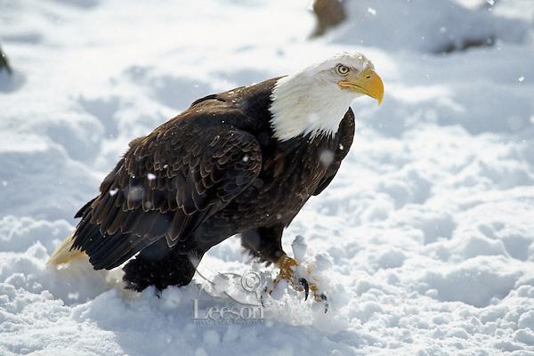 Bald Eagle (Haliaeetus leucocephalus)  walking through snow.