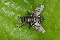Polsterfliege, Polster-Fliege, Schmeißfliege, Pollenia spec., Calliphoridae, Schmeißfliegen, Fleischfliege, Fleischfliegen, cluster fly, Cluster flies, blowfly