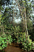 Roraima State, Brazil. Inside the rainforest; vegetation with hanging lianas reflected in water.